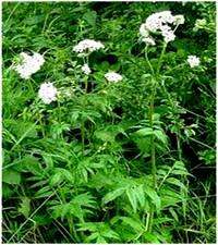 Les plantes et leurs vertus for Plante amincissante