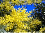 http://www.dieupentale.com/forum/uploads/thumbs/2063_6_le_mimosa_20081.jpg