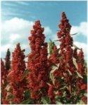 http://www.dieupentale.com/forum/uploads/thumbs/2063_quinoa.jpg