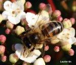 http://www.dieupentale.com/forum/uploads/thumbs/580_abeillelauriertin.jpg