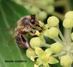http://www.dieupentale.com/forum/uploads/thumbs/580_abeillemellifere.jpg