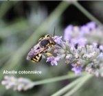 http://www.dieupentale.com/forum/uploads/thumbs/580_lavandinabeillecotonniere.jpg