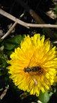 http://www.dieupentale.com/forum/uploads/thumbs/580_pissenlitsyrphefev2019.jpg